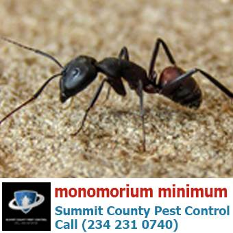Little black ants/ monomorium minimum